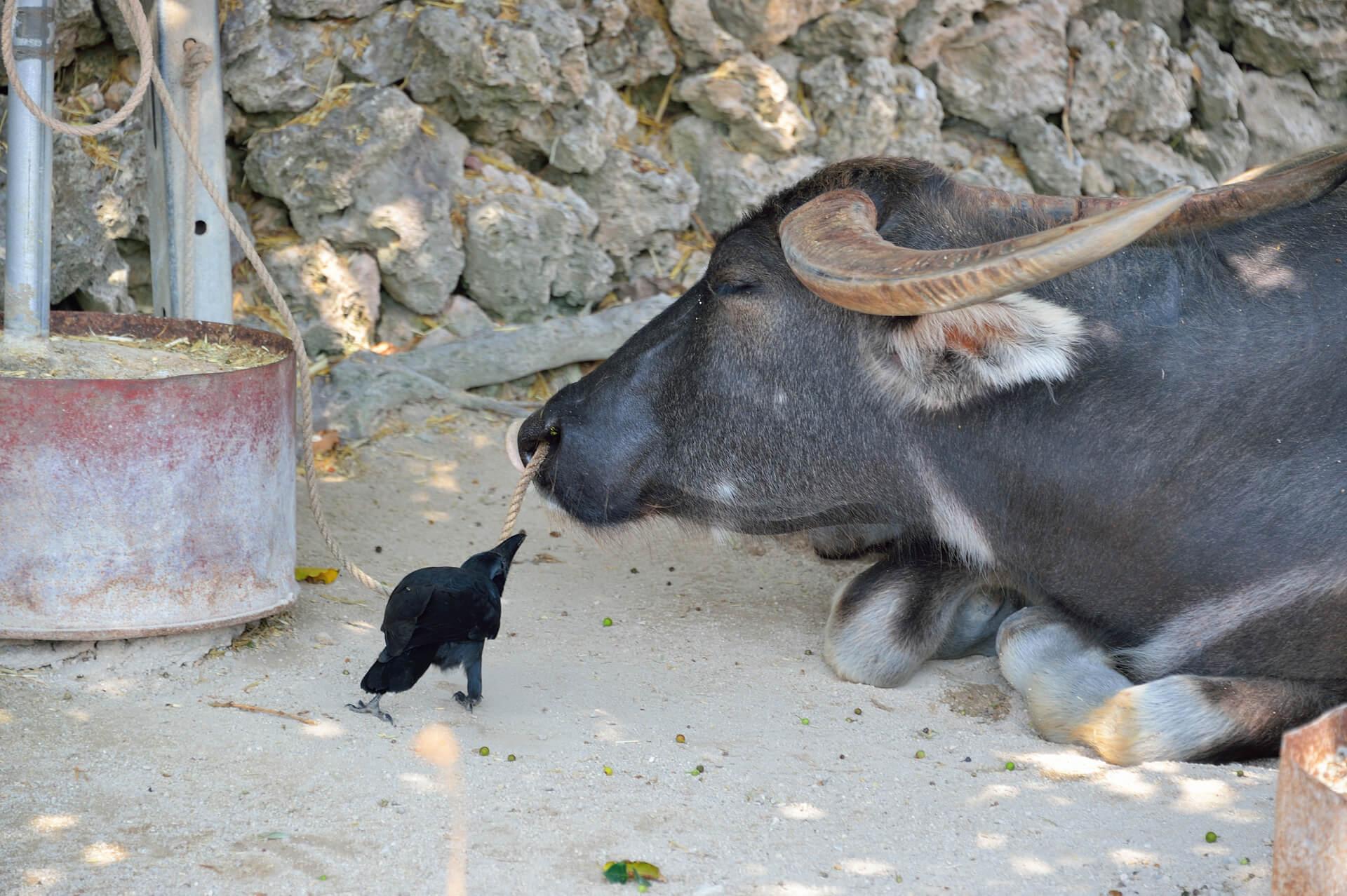 水牛、竹富島