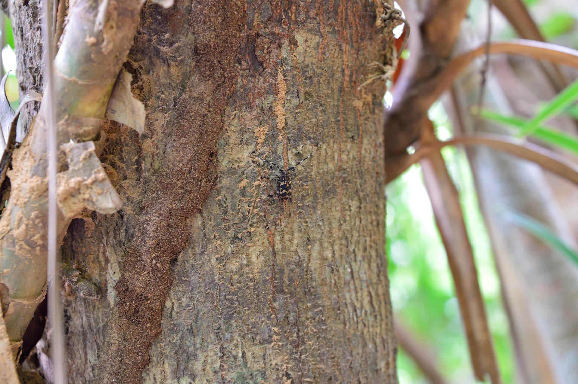 イシガキゴマフカミキリ、西表島
