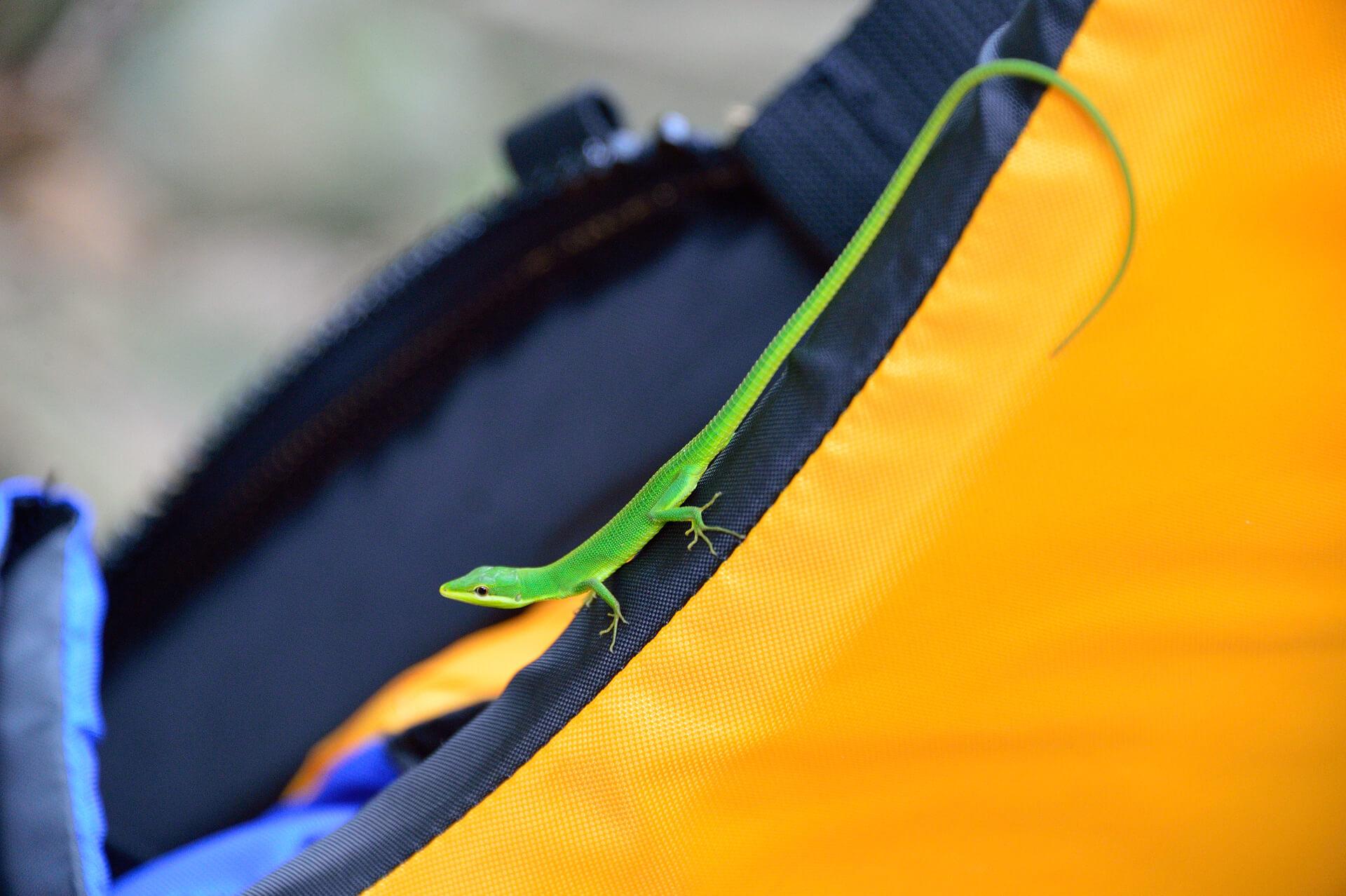 サキシマカナヘビ、西表島