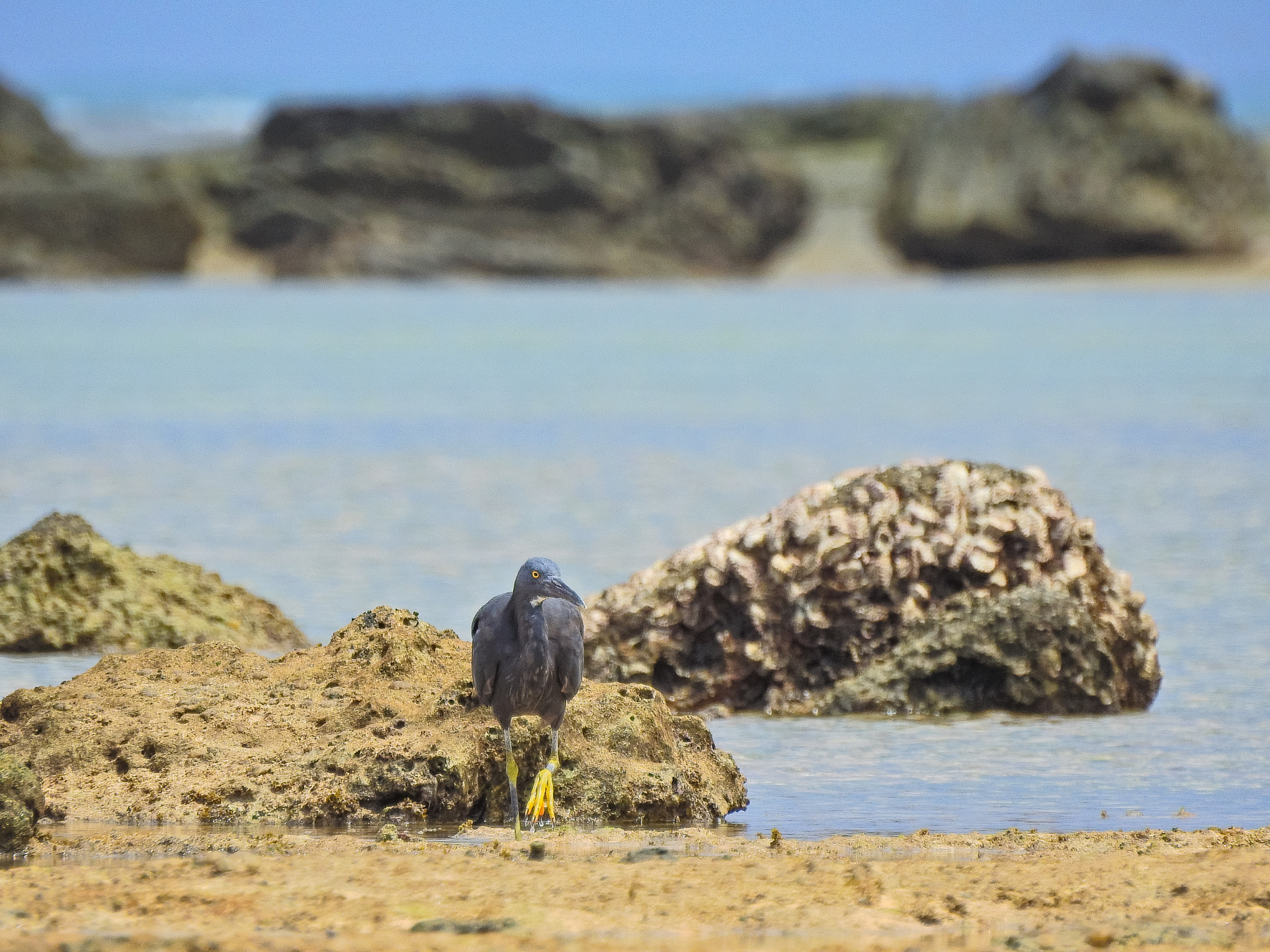 西表島,星砂の浜,クロサギ