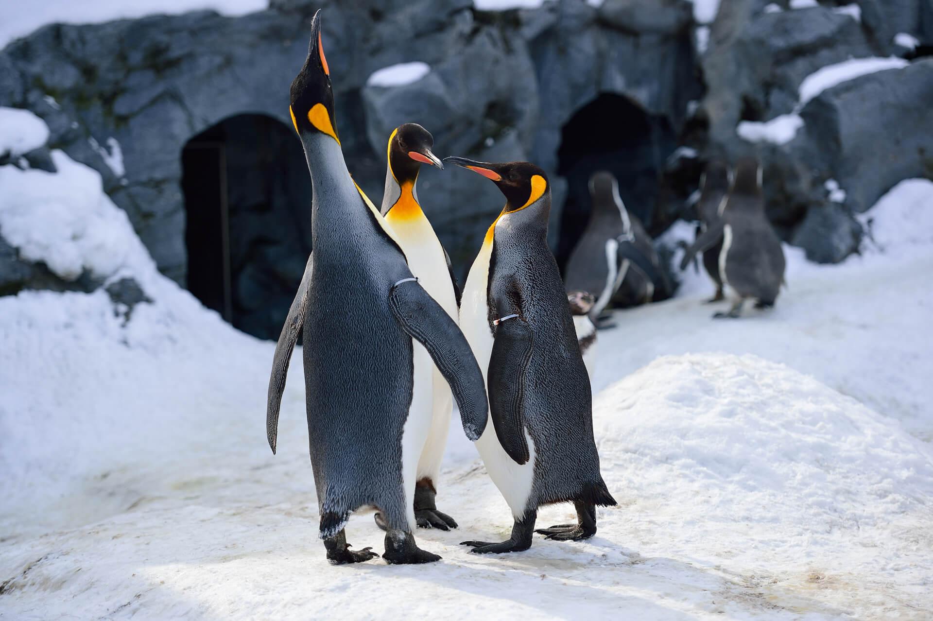 旭川動物園、オウサマペンギン