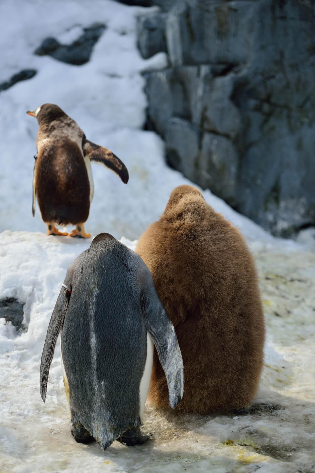 旭川動物園、オウサマペンギンの雛