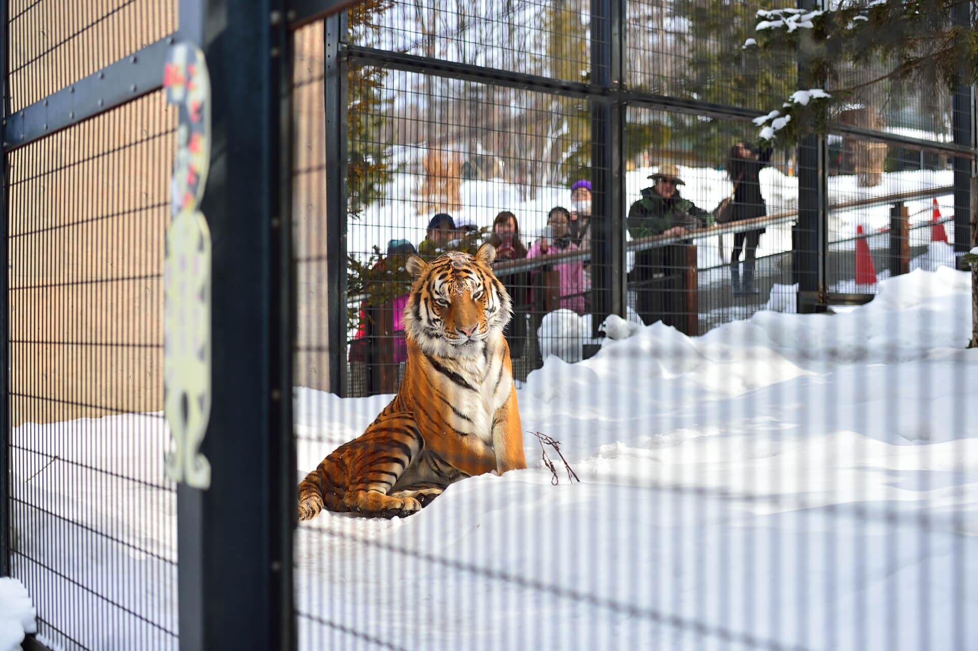 旭山動物園、アムールトラ