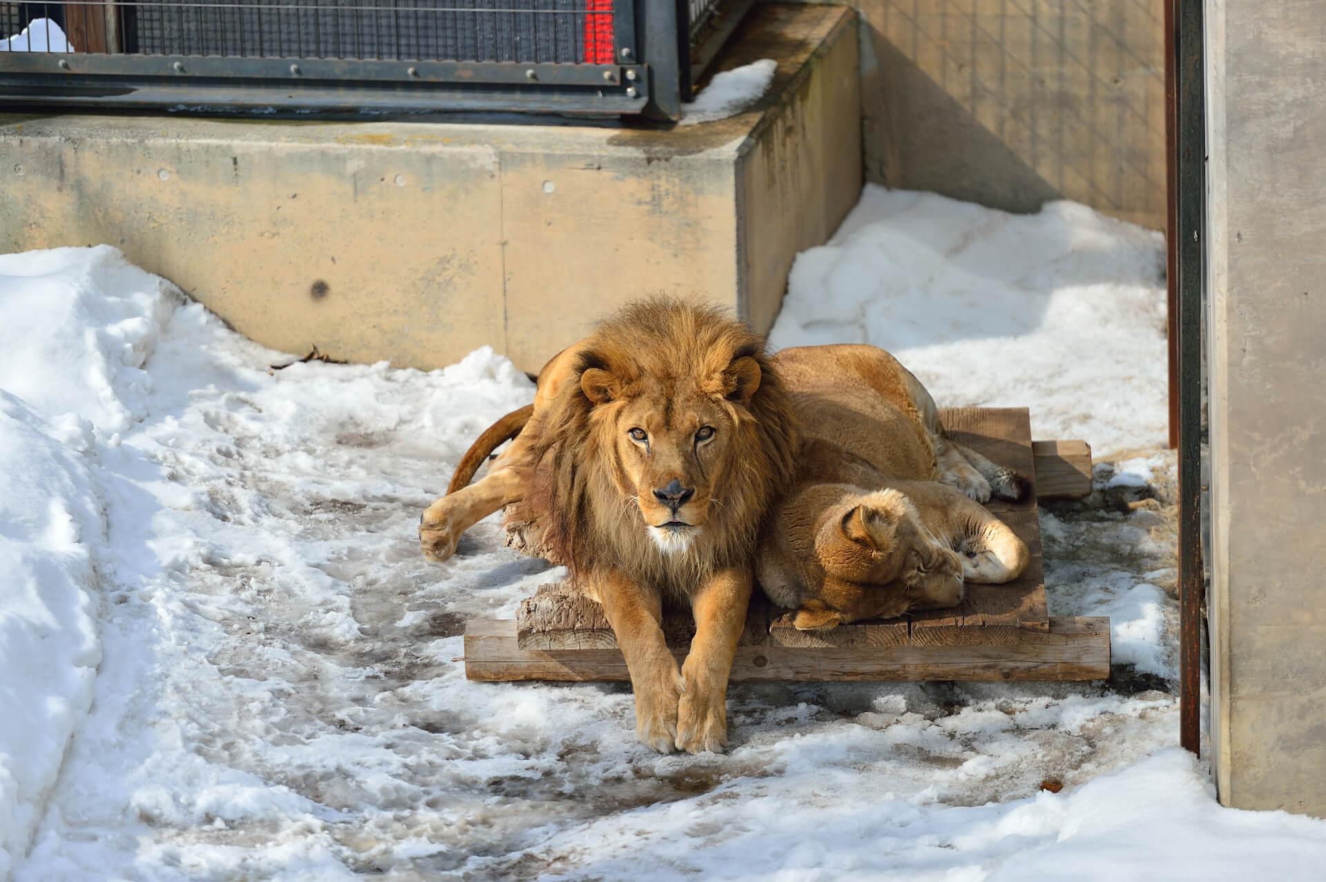 旭山動物園、ライオン