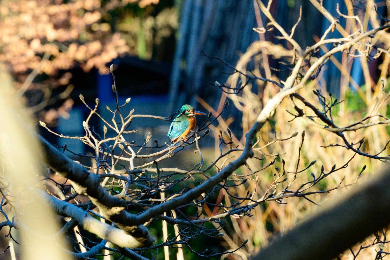 石神井公園 カワセミ