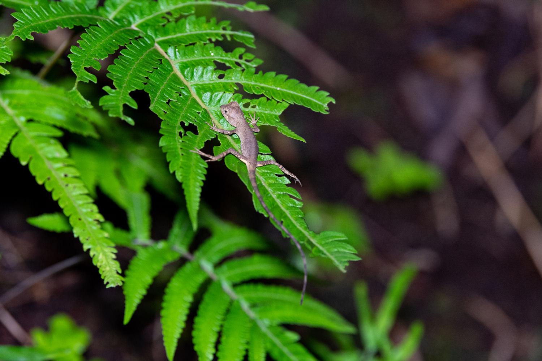 サキシマキノボリトカゲ